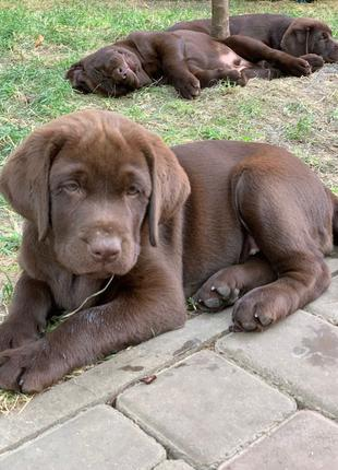 Продаются щенки Шоколадного Лабрадора Ретривера