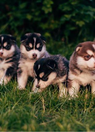 Собаки Сибірський Хаскі