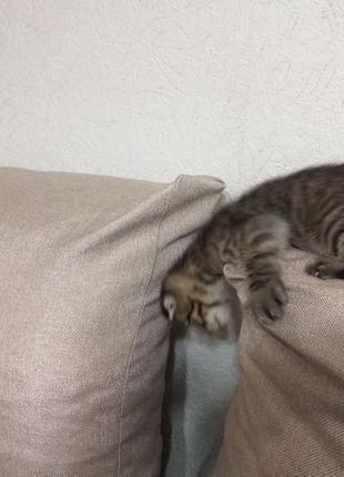 Котенок скотиш фолд мраморний тэбби шотландский вислоухий продам