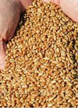 Пшеница новый урожай