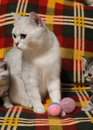 Котята окраса табби.Мальчики