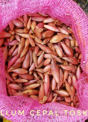 Цибуля зимня голландська тиканка посівна.Лук зимний севок голланд