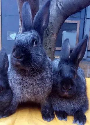 Продаю кроликов породы Полтавское серебро.