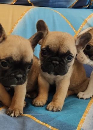 Продаются щенки французского бульдога.