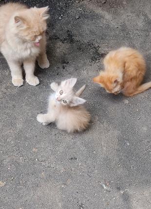 Бесплатно котята кошки рыжие в хорошие руки очень красивые