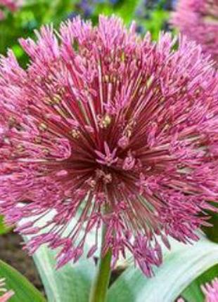 Аллиум Nevskianum (луковица) 65 грн
