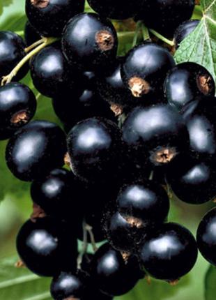 Саженцы плодовых кустарников Смородина черная  - ОПИСАНИЕ ХАРАКТЕ