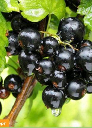 Черная смородина Черный бумер – это относительно новый сорт, выве