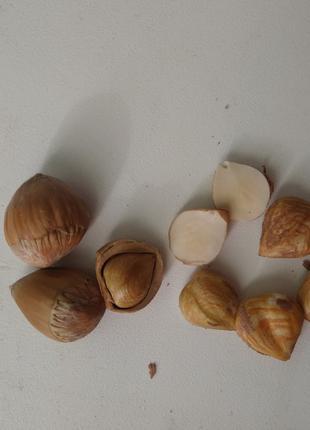 Семена медвежьего ореха