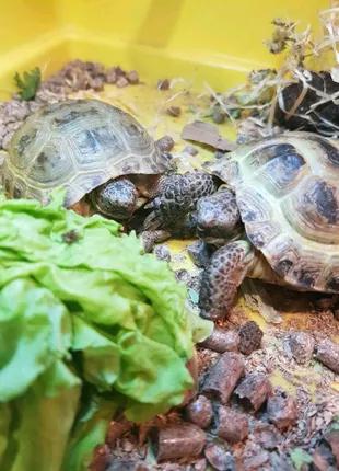 Пара азиатских ручных черепах