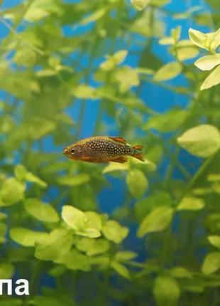 Аквариумные растения - Бакопа Южная (фото мои)