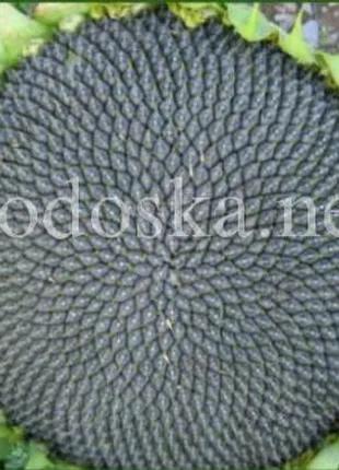 Семена подсолнечника Лакомка 1репродукция 2019