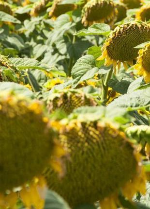 Семена подсолнечника Златсон 2019