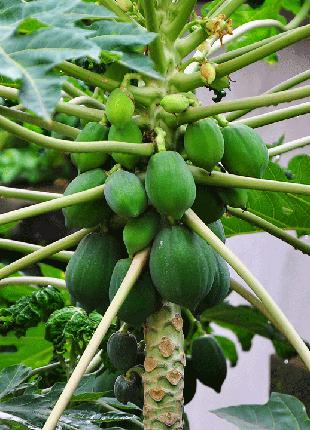 Семена Папайя (фасовка 3 шт)