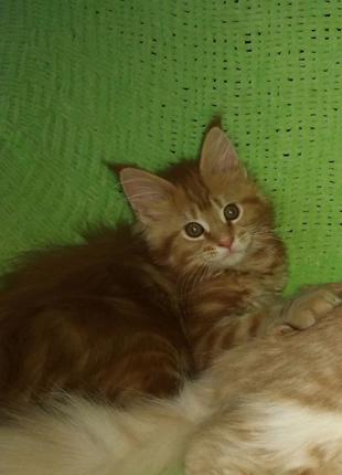 Котенок Мейн-кун - это любовь и преданность