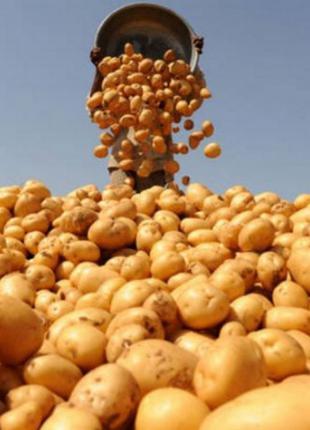 Товарный картофель / картошка