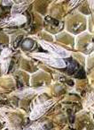 Продажа плодных и не плодных пчелиных маток Карника