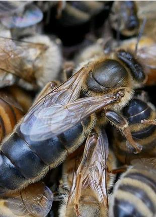 Матки матка карпатка бджоломатки пчеломатки