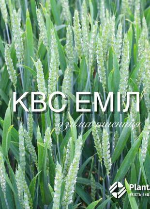 Насіння озимої пшениці KWS Еміл