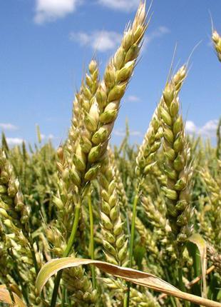 Семена озимой пшеницы Богдана (доступна держ.компенсация)
