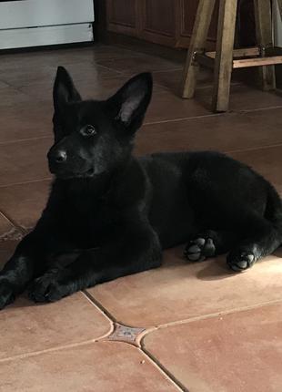 Клубный щенок