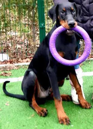 Продажа щенка добермана