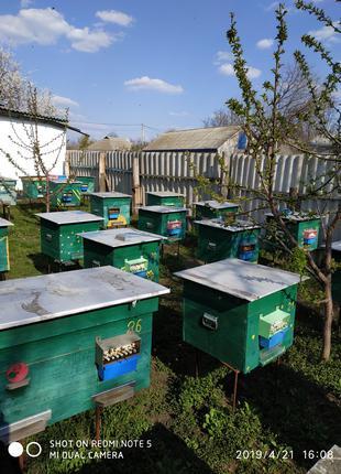 Продам пчелосемьи / бджолосімї