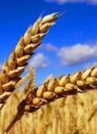 Мелодія одеська озима пшениця (доступна держ.компенсация)