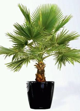 Семена веерной пальмы притчардия