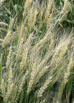Пшеница мягкая (озимая): Зиск