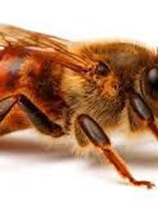 Продам матки породы Бакфаст. Пчеломатки Бакфаст.