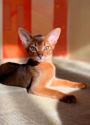 Питомник абиссинских кошек ROYAL JOY предлагает