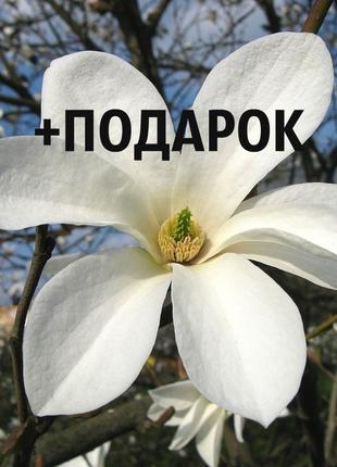 Магнолия кобус семена 40 шт (Magnolia kobus) для саженцев насіння