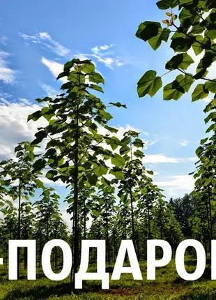 Павловния Shan Tong семена (около 2500 шт) быстрорастущий гибрид