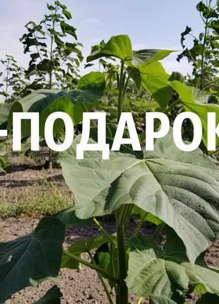 Павловния императорская семена (около 2500 шт) зимостойкая -30°C