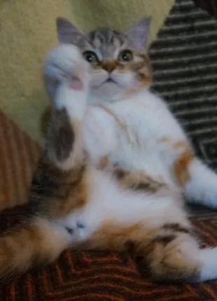 Очаровательное очарование! Скоттиш котя в благородной шубке