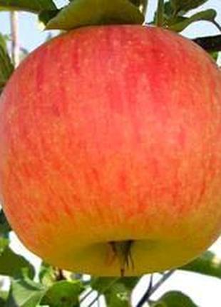 Яблоня Целеста