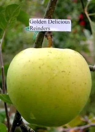 Яблоня Голден делюшес