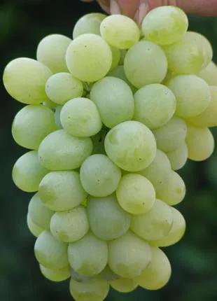 Виноград Подарок Запорожью саженцы
