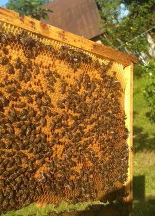 Бджолопакети Карніка F1 (пчелопакеты карника, бджоли)