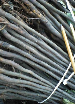 Подвой айвы Анжерской для разных сортов груш,айвы.