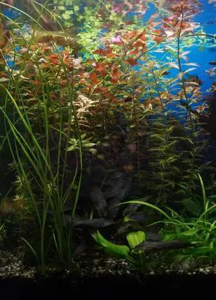 Аквариумные растения - Криптокорина желтая лютея (фото мои)