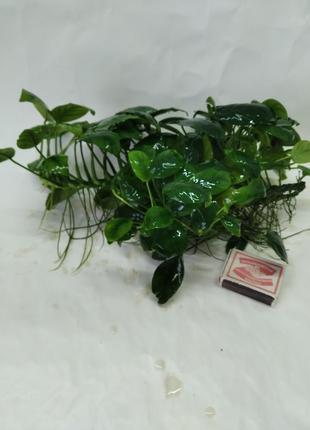 Продам аквариумное растение Анубиас карликовый