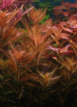 Аквариумные растения - Прозерпинака Палюстрис (фото мои)