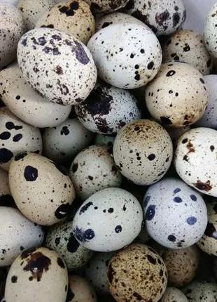 Яйця інкубаційні перепелині / Яйца инкубационные перепелиные