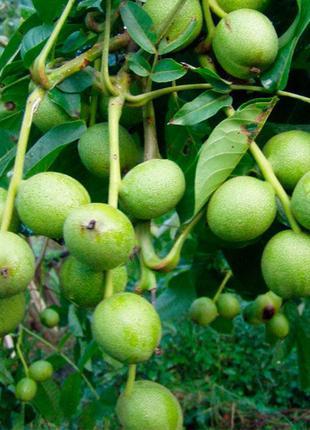 Саженцы грецкого ореха Кочерженко