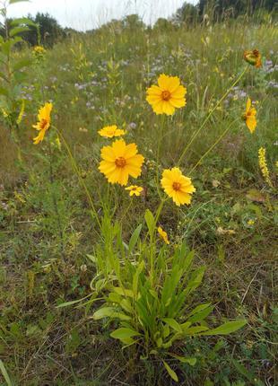 Кореопсис желтый многолетний