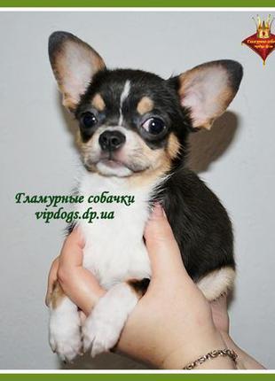Чистокровный щенки чихуахуа. 6 гарантий+приданное+доставка. КС...