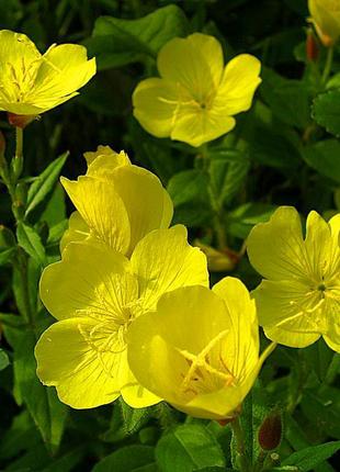 Энотера, цветы в сад