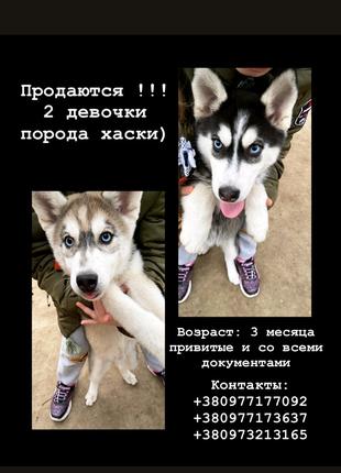 Продаются чистопородные клубные щенки сибирские хаски